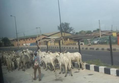 fulani cows brt lane lagos